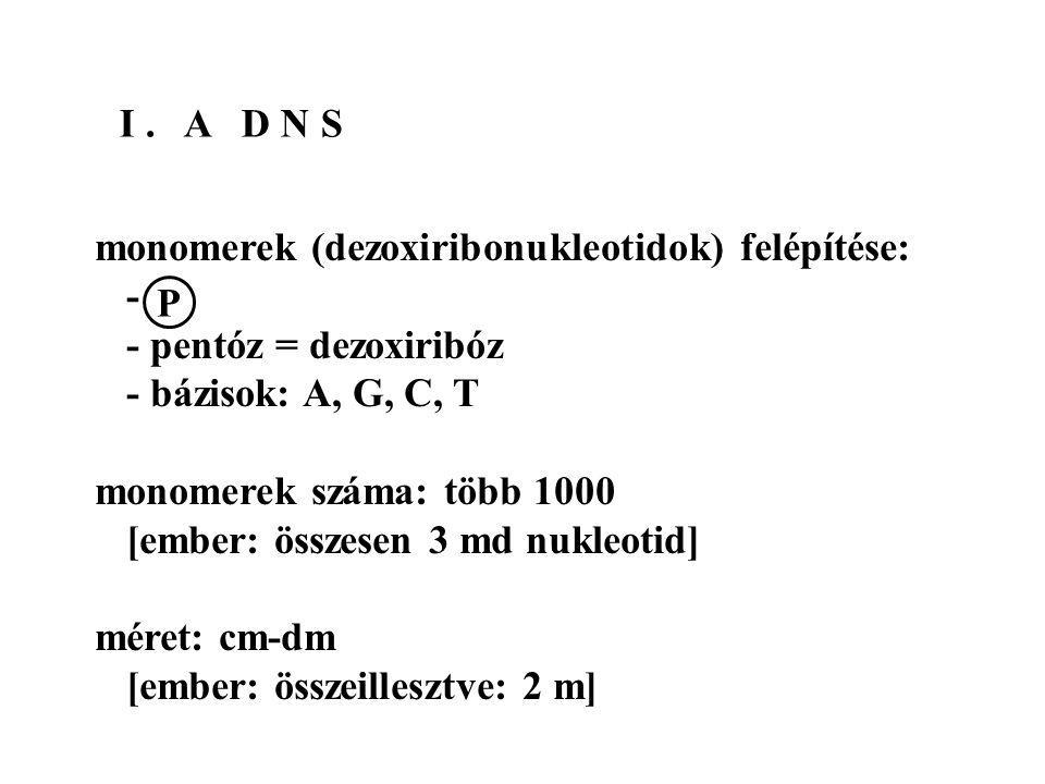 I. A D N S monomerek (dezoxiribonukleotidok) felépítése: - - pentóz = dezoxiribóz - bázisok: A, G, C, T monomerek száma: több 1000 [ember: összesen 3