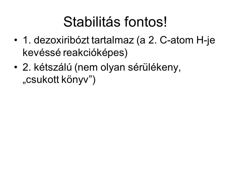 """Stabilitás fontos! 1. dezoxiribózt tartalmaz (a 2. C-atom H-je kevéssé reakcióképes) 2. kétszálú (nem olyan sérülékeny, """"csukott könyv"""")"""