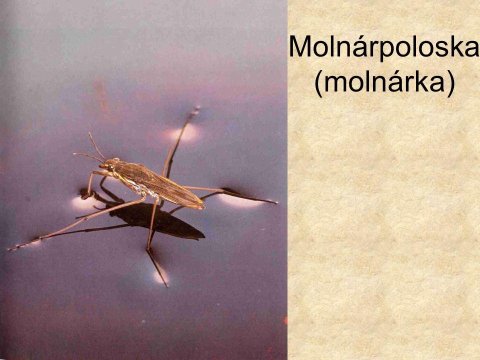 Molnárpoloska (molnárka)