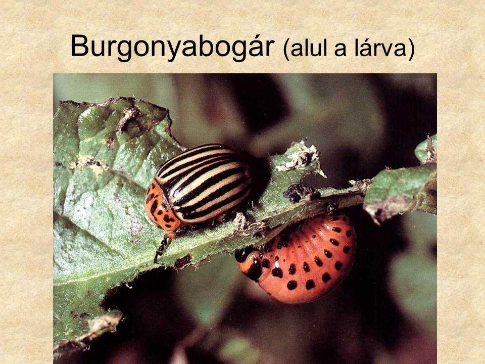 Burgonyabogár (alul a lárva)