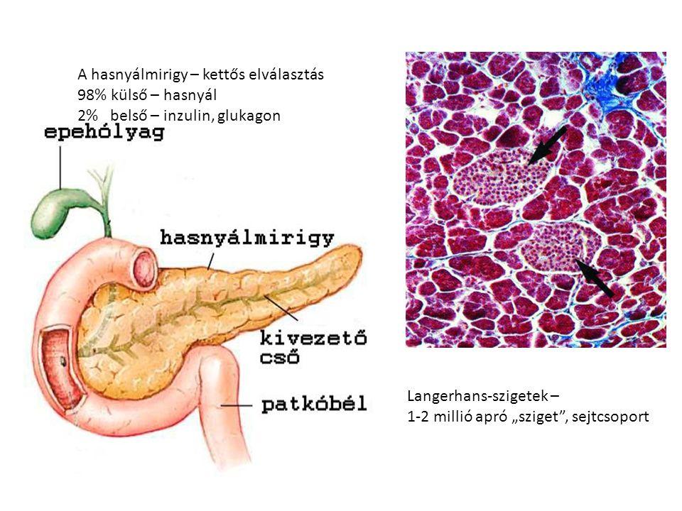 """A hasnyálmirigy – kettős elválasztás 98% külső – hasnyál 2% belső – inzulin, glukagon Langerhans-szigetek – 1-2 millió apró """"sziget"""", sejtcsoport"""