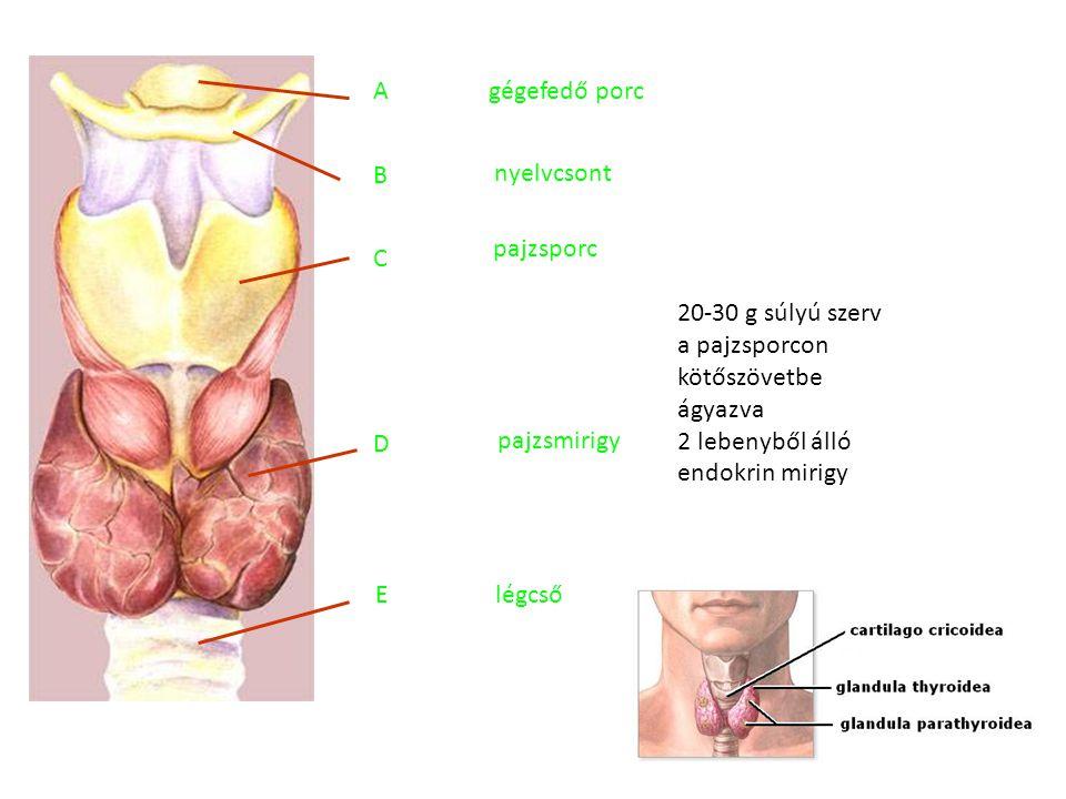 gégefedő porc nyelvcsont pajzsporc pajzsmirigy légcső A B C D E 20-30 g súlyú szerv a pajzsporcon kötőszövetbe ágyazva 2 lebenyből álló endokrin mirig
