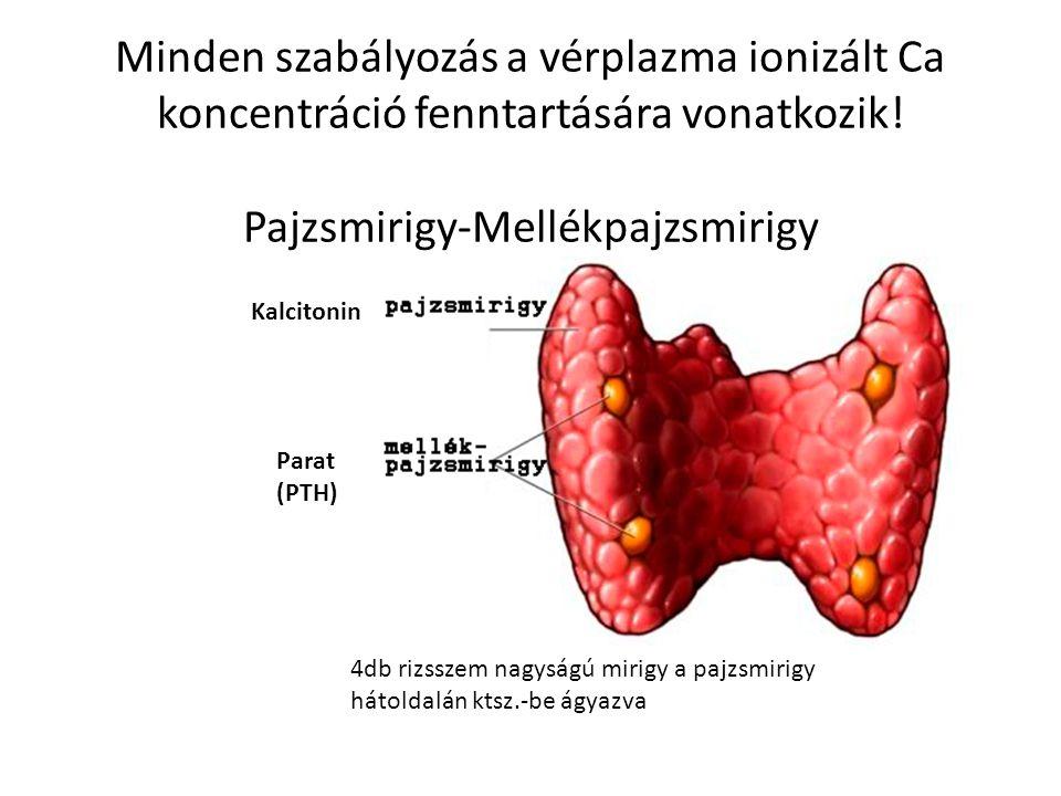 Minden szabályozás a vérplazma ionizált Ca koncentráció fenntartására vonatkozik! Pajzsmirigy-Mellékpajzsmirigy Kalcitonin Parat (PTH) 4db rizsszem na