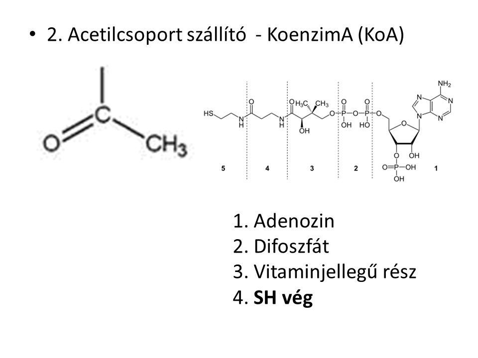 2. Acetilcsoport szállító - KoenzimA (KoA) 1. Adenozin 2. Difoszfát 3. Vitaminjellegű rész 4. SH vég