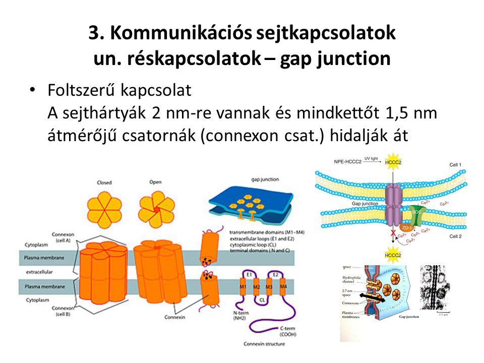 3. Kommunikációs sejtkapcsolatok un. réskapcsolatok – gap junction Foltszerű kapcsolat A sejthártyák 2 nm-re vannak és mindkettőt 1,5 nm átmérőjű csat