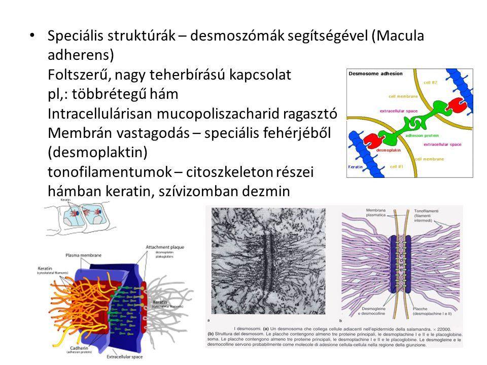 Speciális struktúrák – desmoszómák segítségével (Macula adherens) Foltszerű, nagy teherbírású kapcsolat pl,: többrétegű hám Intracellulárisan mucopoli