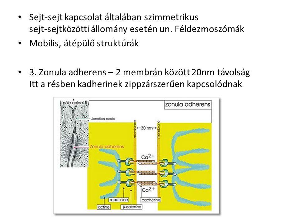 Sejt-sejt kapcsolat általában szimmetrikus sejt-sejtközötti állomány esetén un. Féldezmoszómák Mobilis, átépülő struktúrák 3. Zonula adherens – 2 memb