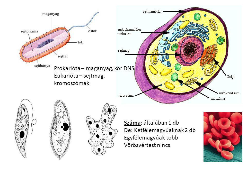 Prokarióta – maganyag, kör DNS Eukarióta – sejtmag, kromoszómák Száma: általában 1 db De: Kétfélemagvúaknak 2 db Egyfélemagvúak több Vörösvértest ninc
