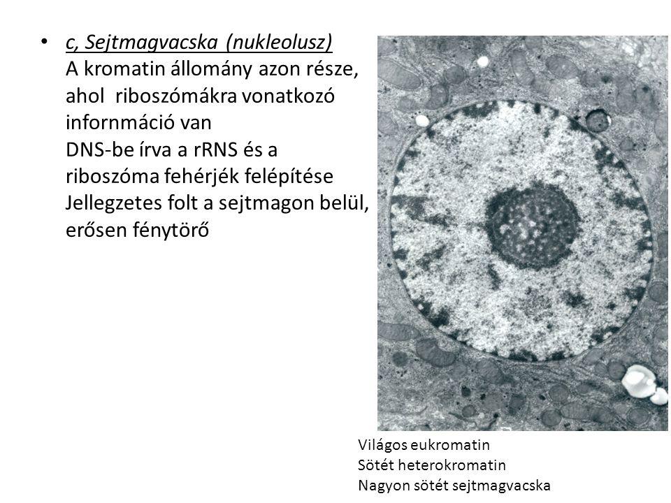 c, Sejtmagvacska (nukleolusz) A kromatin állomány azon része, ahol riboszómákra vonatkozó infornmáció van DNS-be írva a rRNS és a riboszóma fehérjék f