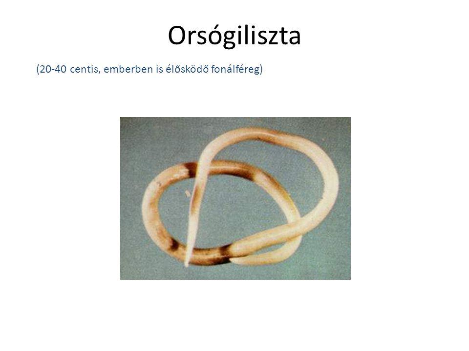 Orsógiliszta (20-40 centis, emberben is élősködő fonálféreg)