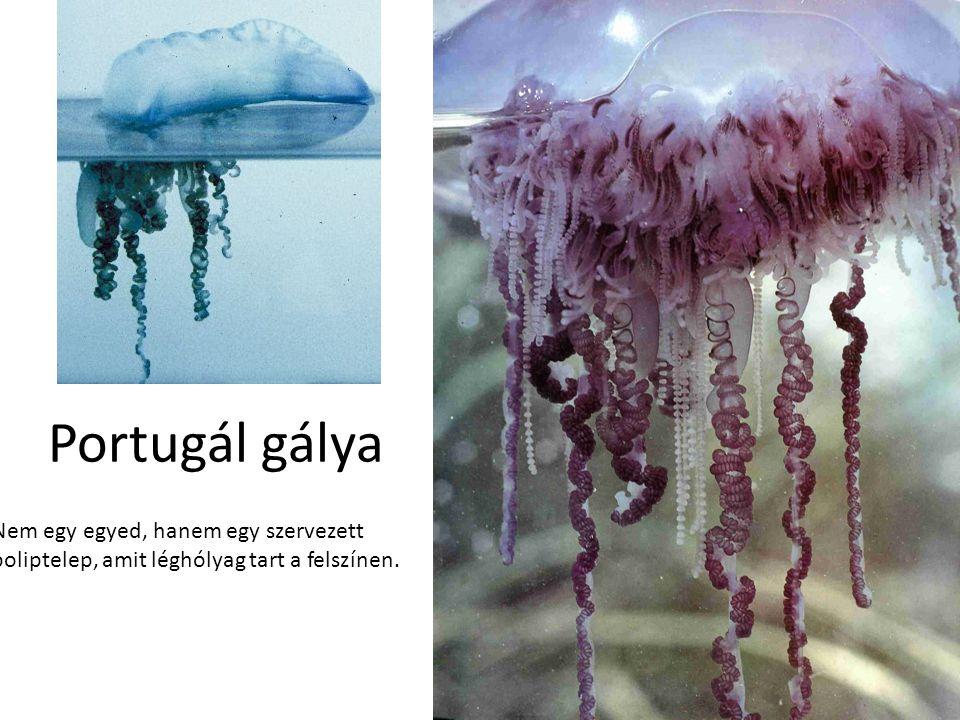Portugál gálya Nem egy egyed, hanem egy szervezett poliptelep, amit léghólyag tart a felszínen.