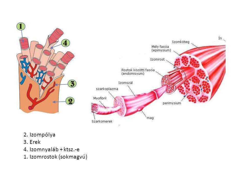 Transzverzális tubulus sarcolemma (sejthártya) betűrődés Longitudinális tubulus=izomrost ER membránja/Szarkoplazmatikus retikulum Ca raktár