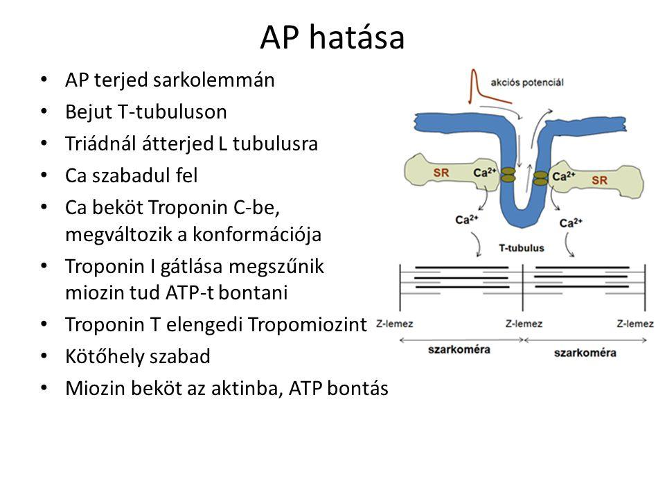 AP hatása AP terjed sarkolemmán Bejut T-tubuluson Triádnál átterjed L tubulusra Ca szabadul fel Ca beköt Troponin C-be, megváltozik a konformációja Troponin I gátlása megszűnik miozin tud ATP-t bontani Troponin T elengedi Tropomiozint Kötőhely szabad Miozin beköt az aktinba, ATP bontás