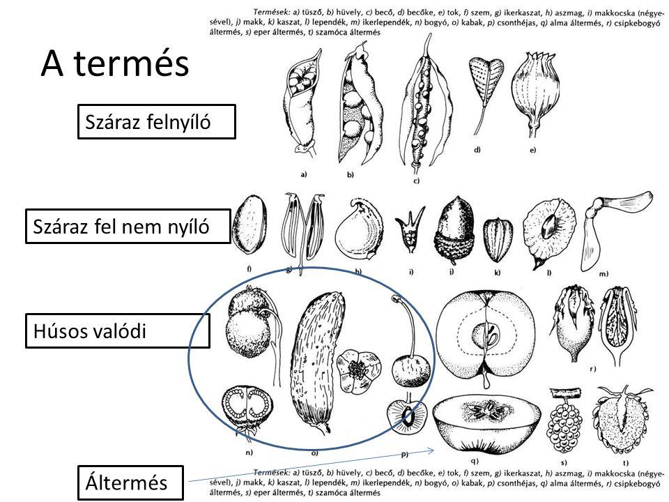 A termés Száraz felnyíló Száraz fel nem nyíló Húsos valódi Áltermés