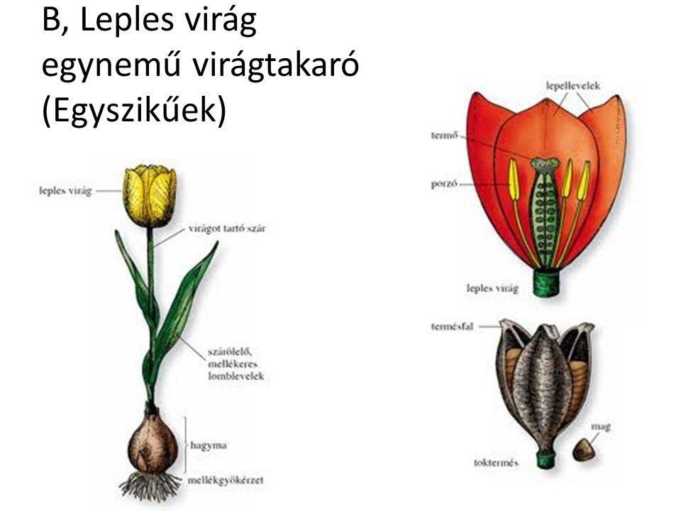B, Leples virág egynemű virágtakaró (Egyszikűek)
