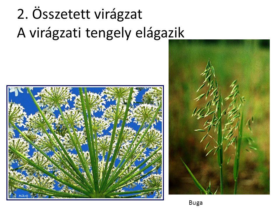 2. Összetett virágzat A virágzati tengely elágazik Buga