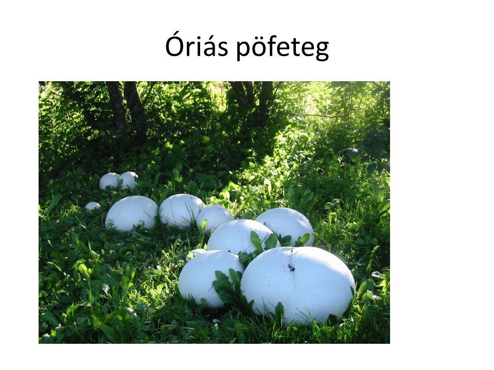 Óriás pöfeteg