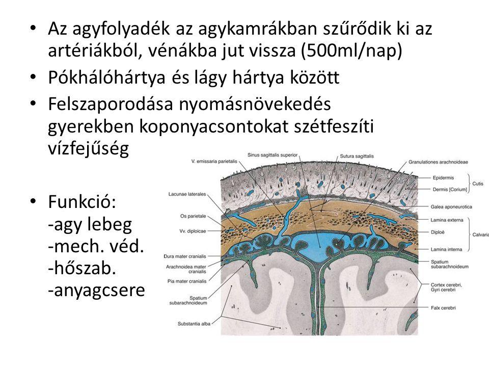 Az agyfolyadék az agykamrákban szűrődik ki az artériákból, vénákba jut vissza (500ml/nap) Pókhálóhártya és lágy hártya között Felszaporodása nyomásnöv