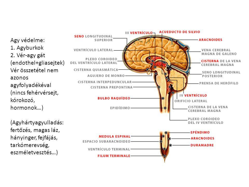 Agy védelme: 1. Agyburkok 2. Vér-agy gát (endothel+gliasejtek) Vér összetétel nem azonos agyfolyadékéval (nincs fehérvérsejt, kórokozó, hormonok…) (Ag