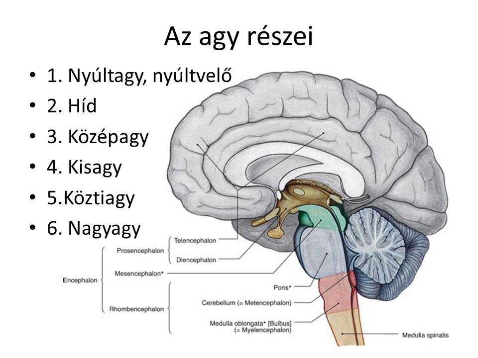 Az agy részei 1. Nyúltagy, nyúltvelő 2. Híd 3. Középagy 4. Kisagy 5.Köztiagy 6. Nagyagy