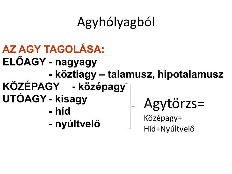 Agyhólyagból AZ AGY TAGOLÁSA: ELŐAGY- nagyagy - köztiagy – talamusz, hipotalamusz KÖZÉPAGY- középagy UTÓAGY- kisagy - híd - nyúltvelő Agytörzs= Középa