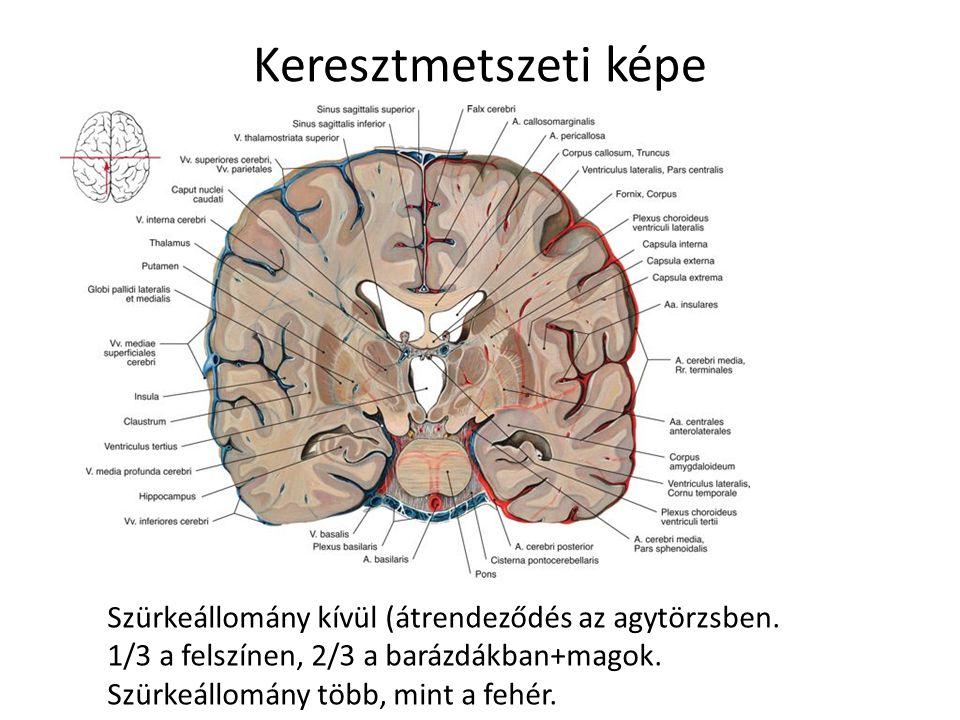 Keresztmetszeti képe Szürkeállomány kívül (átrendeződés az agytörzsben. 1/3 a felszínen, 2/3 a barázdákban+magok. Szürkeállomány több, mint a fehér.