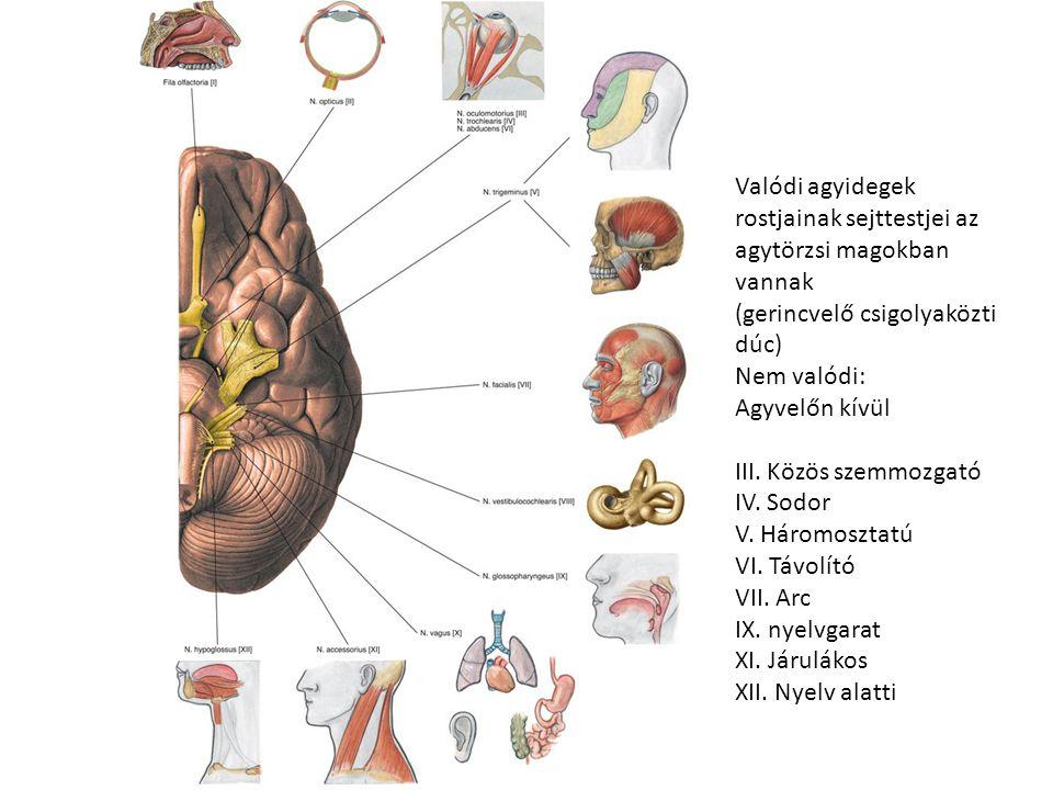 Valódi agyidegek rostjainak sejttestjei az agytörzsi magokban vannak (gerincvelő csigolyaközti dúc) Nem valódi: Agyvelőn kívül III. Közös szemmozgató