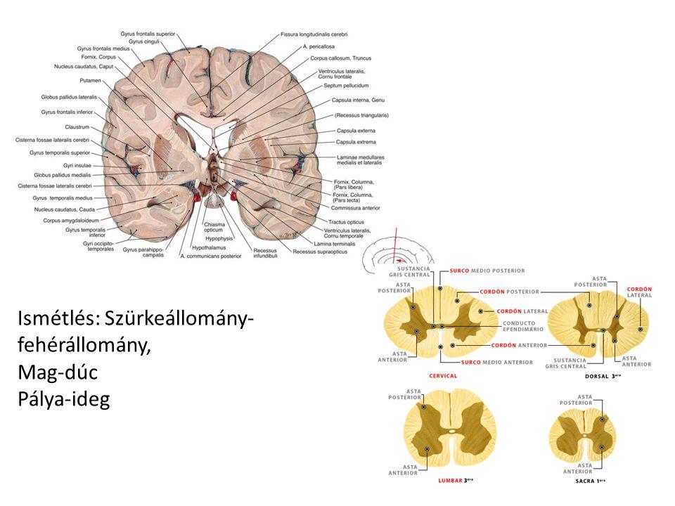 Agyburkok (kemény agyhártya, pókhálóhártya, lágy agyhártya) Utóbbi kettő között agyfolyadék