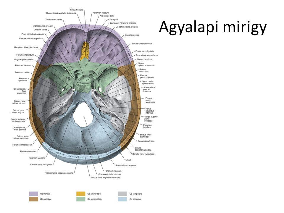 Hipotalamusz A köztiagy része (talamusz alatti), Magcsoportokból áll Idegrendszer ellenőrző szerepe a hormonrsz.