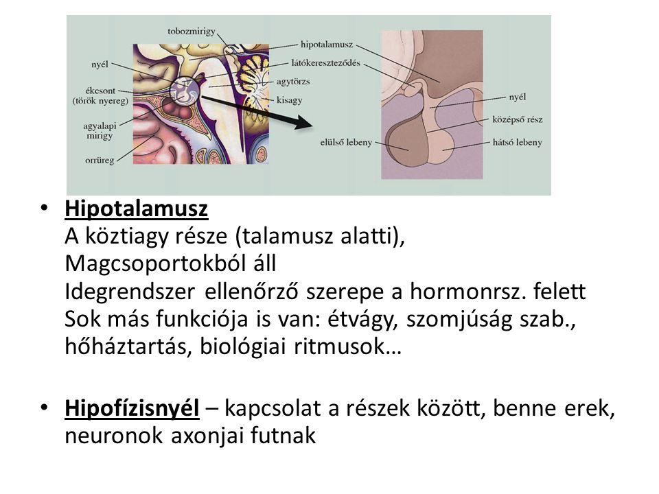 Hipotalamusz A köztiagy része (talamusz alatti), Magcsoportokból áll Idegrendszer ellenőrző szerepe a hormonrsz. felett Sok más funkciója is van: étvá