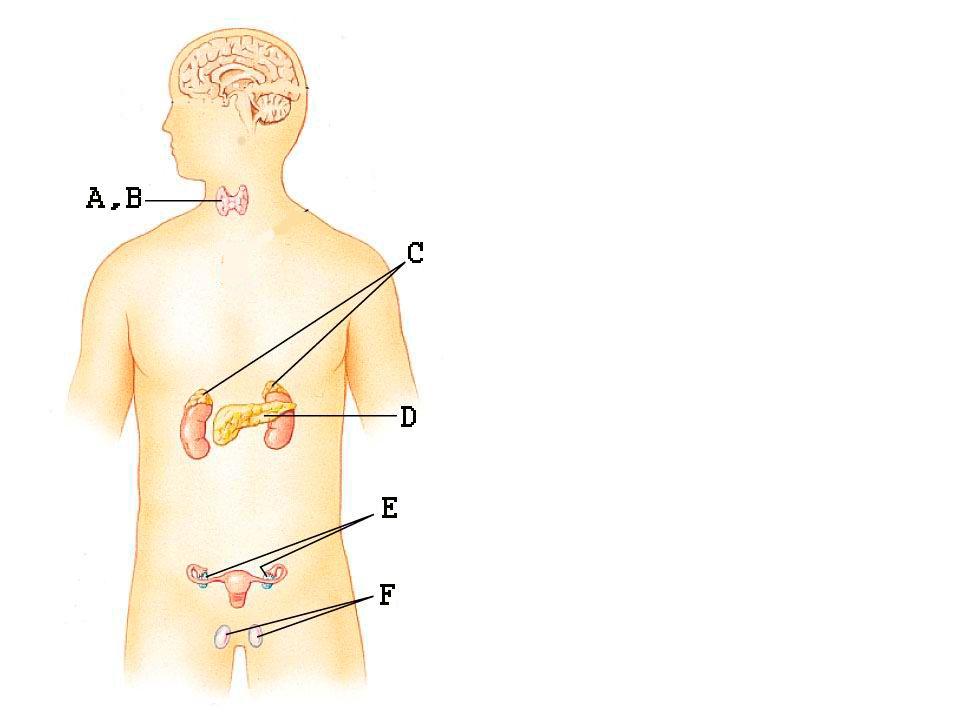 A hipofízis hátsó lebeny hormonjai (neuroszekretum tárolás) Néhány aminosavból álló peptidek Axonvégben találhatók, a vérbe ürülnek (a hátsó lebeny kívül van a vér-agy gáton) 1.