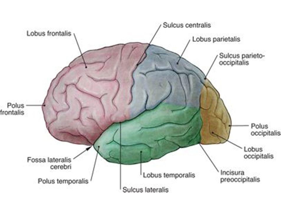 Az agykéreg működése Agyhullámok Az agy felszínéről elvezethető, felerősíthető jelek EEG
