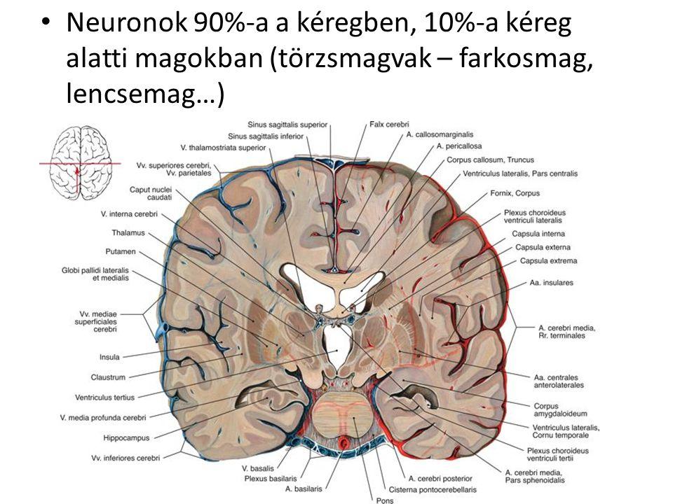 Neuronok 90%-a a kéregben, 10%-a kéreg alatti magokban (törzsmagvak – farkosmag, lencsemag…)