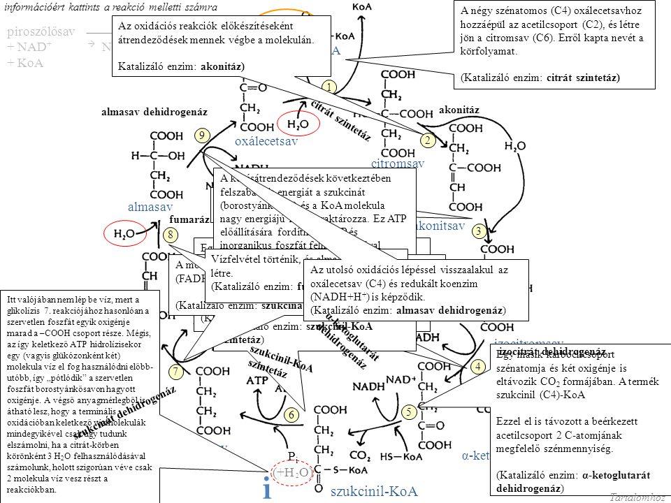 oxálecetsavcitromsav izocitromsav α-ketoglutársav Szukcinil-KoA borostyánkősav fumársav almasav A citrát-kör anyag- és energiamérlege 1 glükózra: 2 Ac-KoA + 6 H 2 O + 6 NAD + + FAD + 2ADP + 2P i 4 CO 2 + 2KoA + 6NADH+H + + 2FADH 2 + 2ATP Tartalomhoz