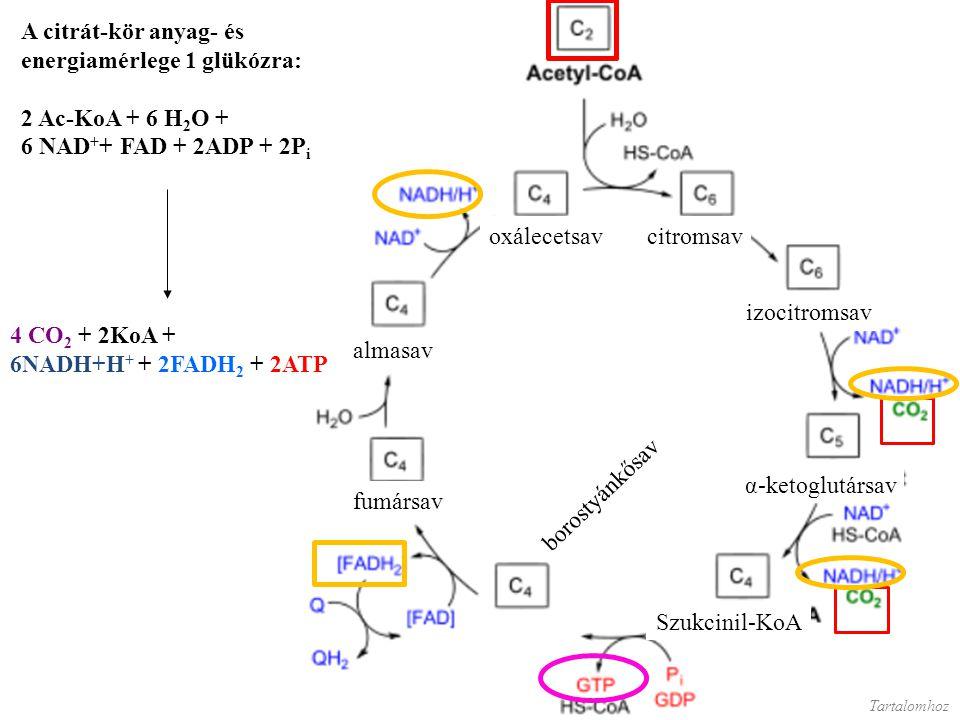 Az alábbi animáció megmutatja, hogy bár nem pont azok a szénatomok távoznak el a citrát-ciklus egy körében, mint amelyek a kör elején beléptek az acetilcsoporttal, azért előbb utóbb minden szénatomra sor kerül.