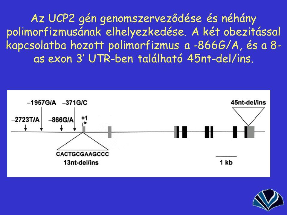 49 Az UCP2 gén genomszerveződése és néhány polimorfizmusának elhelyezkedése. A két obezitással kapcsolatba hozott polimorfizmus a -866G/A, és a 8- as