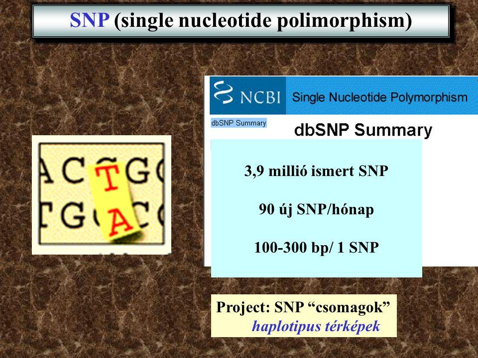"""SNP (single nucleotide polimorphism) 3,9 millió ismert SNP 90 új SNP/hónap 100-300 bp/ 1 SNP Project: SNP """"csomagok"""" haplotipus térképek"""