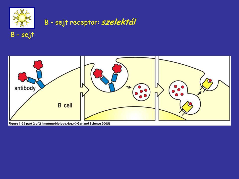 B - sejt receptor: szelektál B - sejt