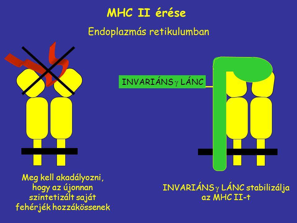 Meg kell akadályozni, hogy az újonnan szintetizált saját fehérjék hozzákössenek Endoplazmás retikulumban MHC II érése INVARIÁNS  LÁNC stabilizálja az