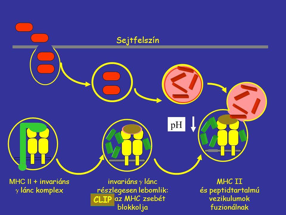 Sejtfelszín MHC II + invariáns  lánc komplex invariáns  lánc részlegesen lebomlik: az MHC zsebét blokkolja CLIP MHC II és peptidtartalmú vezikulumok
