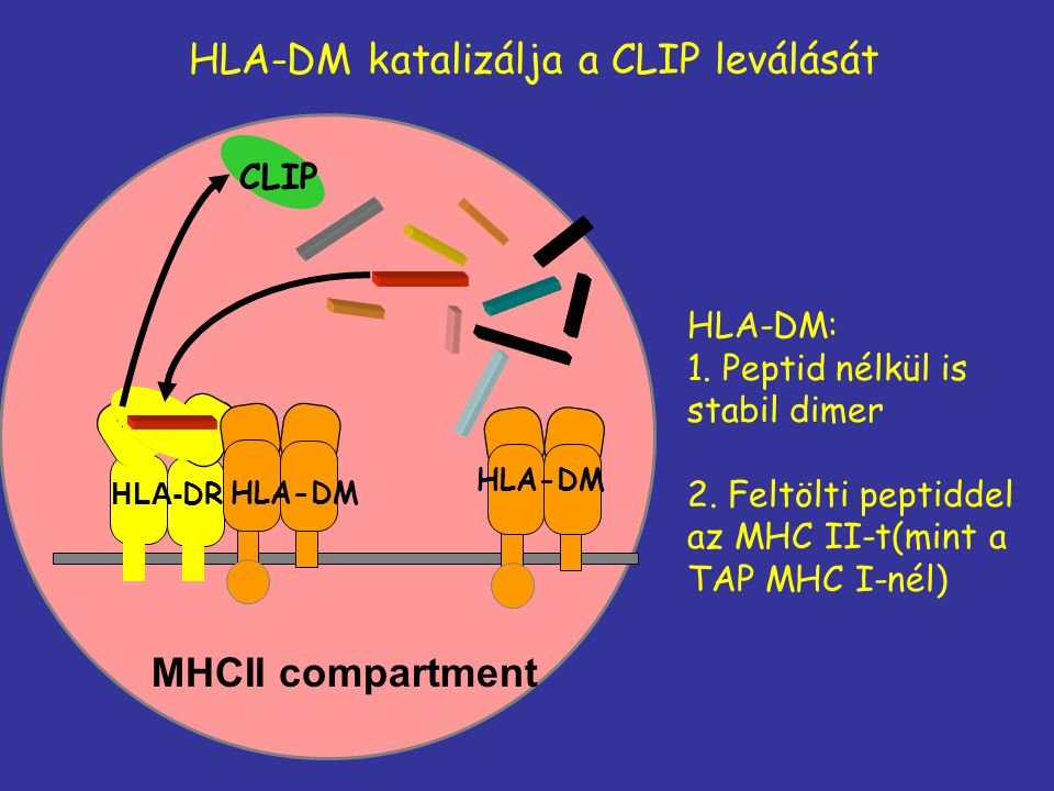 HLA-DM katalizálja a CLIP leválását MHCII compartment HLA-DM: 1. Peptid nélkül is stabil dimer 2. Feltölti peptiddel az MHC II-t(mint a TAP MHC I-nél)