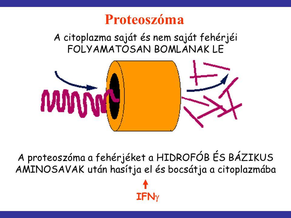 A proteoszóma a fehérjéket a HIDROFÓB ÉS BÁZIKUS AMINOSAVAK után hasítja el és bocsátja a citoplazmába A citoplazma saját és nem saját fehérjéi FOLYAM