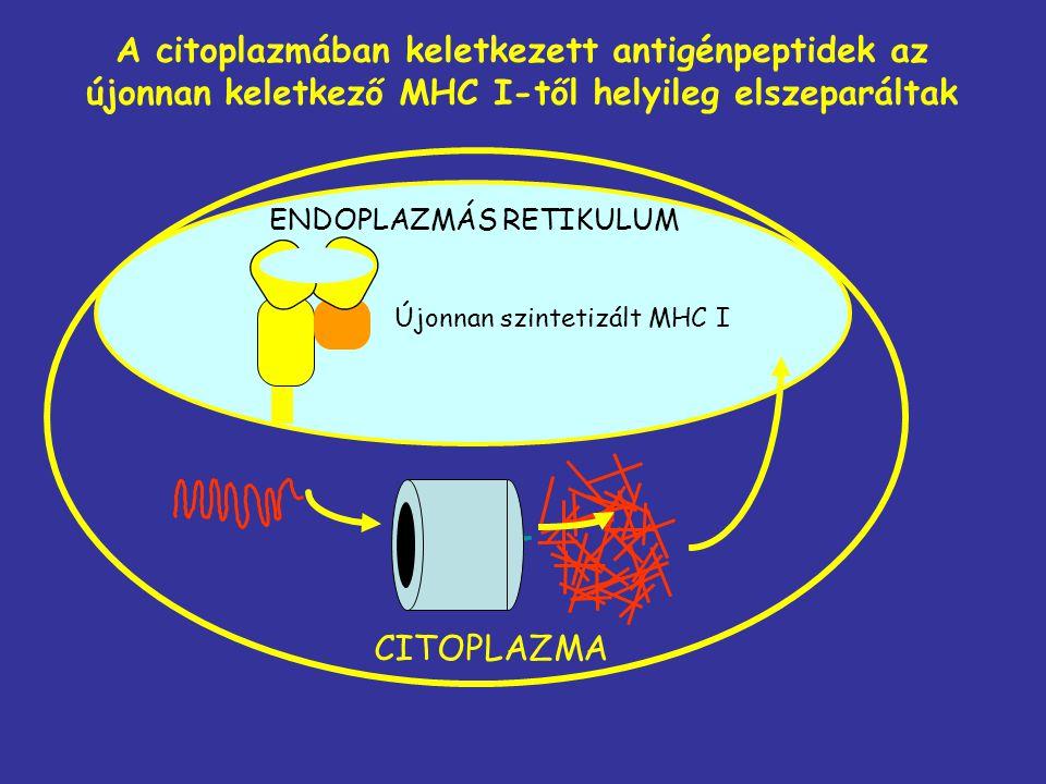 ENDOPLAZMÁS RETIKULUM CITOPLAZMA A citoplazmában keletkezett antigénpeptidek az újonnan keletkező MHC I-től helyileg elszeparáltak Újonnan szintetizál