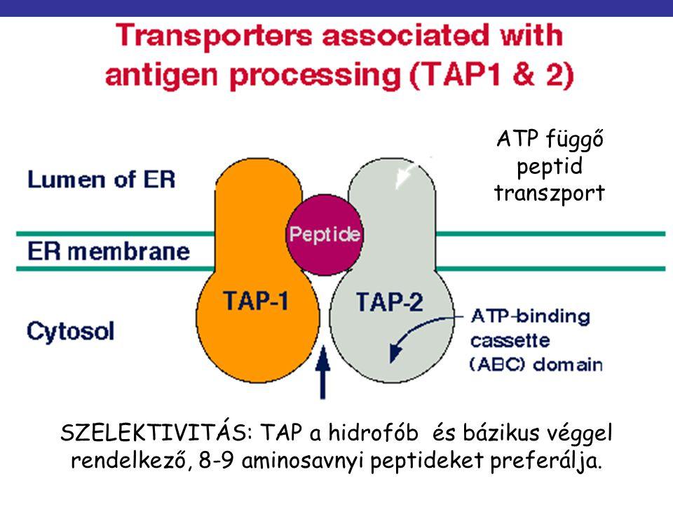 SZELEKTIVITÁS: TAP a hidrofób és bázikus véggel rendelkező, 8-9 aminosavnyi peptideket preferálja. ATP függő peptid transzport