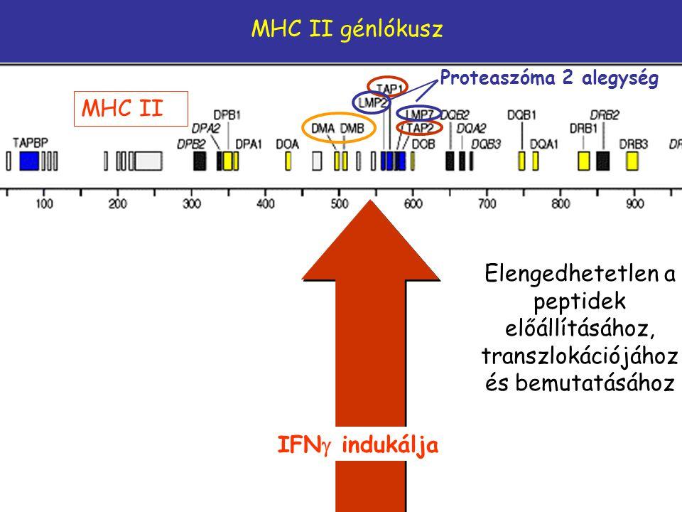 IFN  indukálja MHC II Proteaszóma 2 alegység MHC II génlókusz Elengedhetetlen a peptidek előállításához, transzlokációjához és bemutatásához