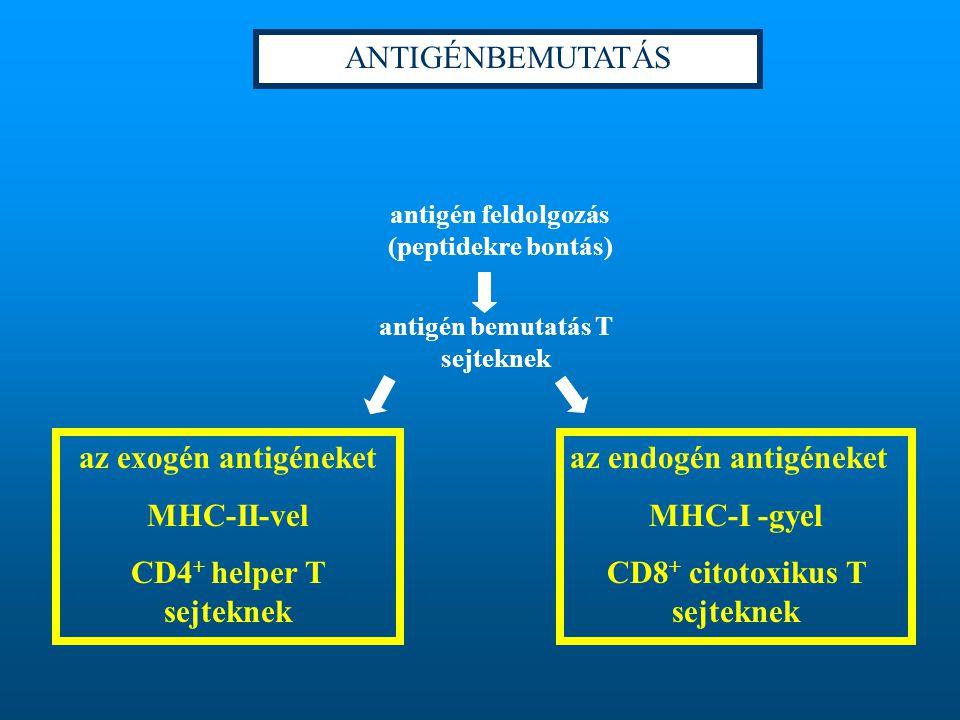 antigén feldolgozás (peptidekre bontás) antigén bemutatás T sejteknek az exogén antigéneket MHC-II-vel CD4 + helper T sejteknek az endogén antigéneket