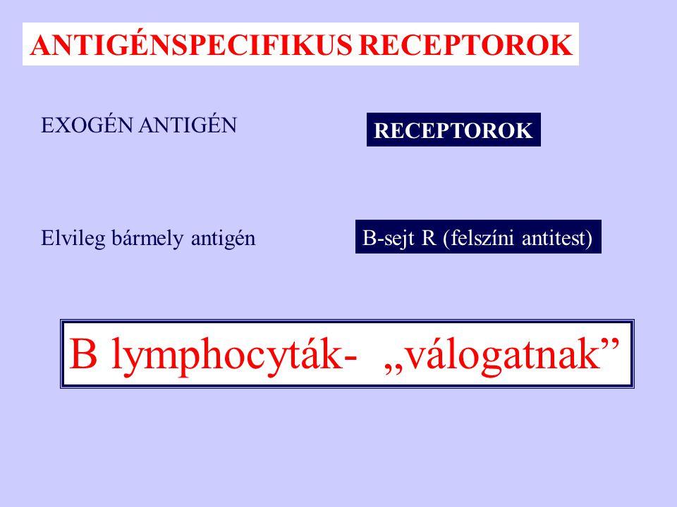 """RECEPTOROK EXOGÉN ANTIGÉN ANTIGÉNSPECIFIKUS RECEPTOROK B lymphocyták- """"válogatnak"""" Elvileg bármely antigénB-sejt R (felszíni antitest)"""