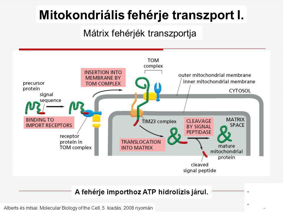 Mátrix fehérjék transzportja A fehérje importhoz ATP hidrolízis járul. Mitokondriális fehérje transzport I. Alberts és mtsai: Molecular Biology of the