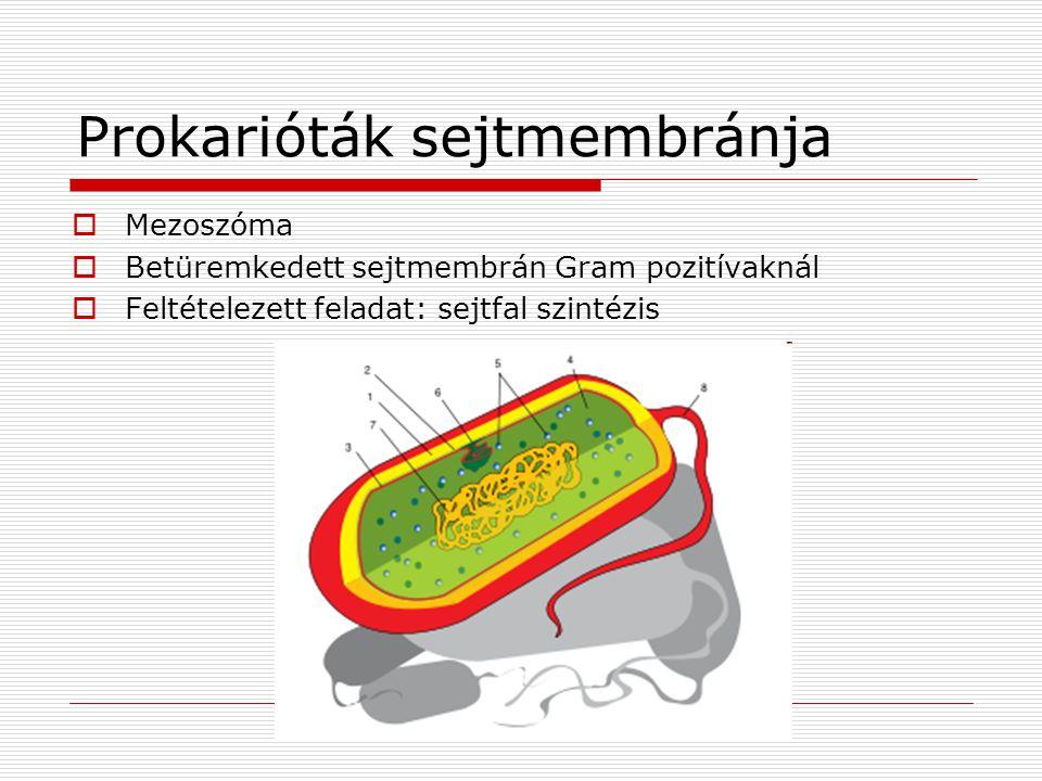 Prokarióták sejtmembránja  Mezoszóma  Betüremkedett sejtmembrán Gram pozitívaknál  Feltételezett feladat: sejtfal szintézis