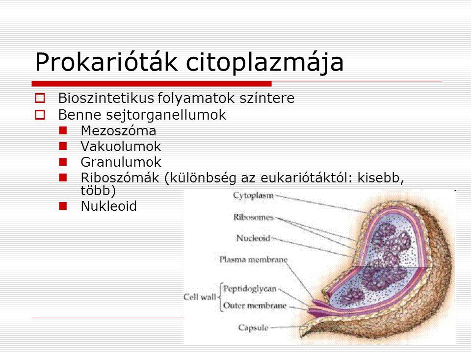 Prokarióták citoplazmája  Bioszintetikus folyamatok színtere  Benne sejtorganellumok Mezoszóma Vakuolumok Granulumok Riboszómák (különbség az eukari